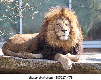 a lion in the sunshine
