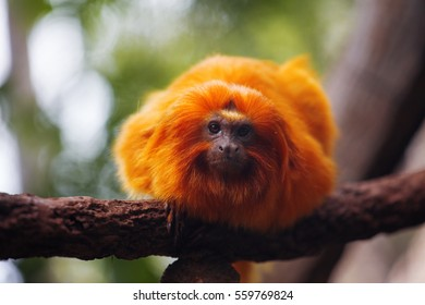 Lion tamarin, or Rosalie. He sits on a tree branch