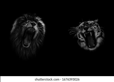 Lion and Tiger growling opposite each other, open an embittered mouth, canines