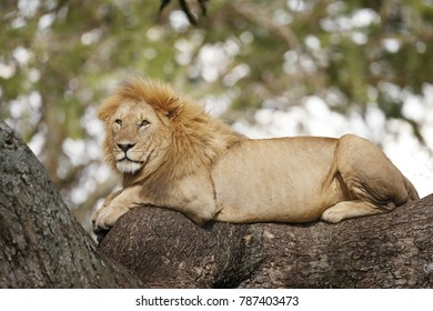 A lion in a tree on Africa's Serengeti Plains