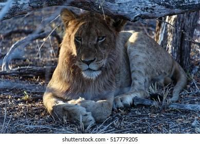 Lion under a bush in the Kruger National Park