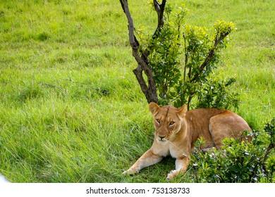 A lion in an unusually lush green savanna