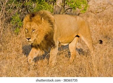 Lion walking in long grass