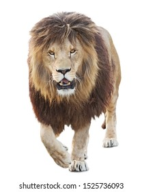 Lion walking on white background