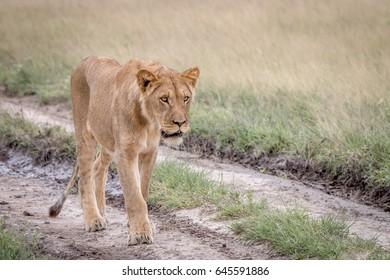Lion walking in the sand in the Central Kalahari, Botswana.