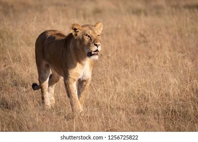 Lion walking through long grass in sunshine