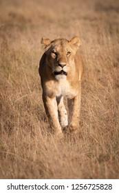 Lion walking towards camera in long grass