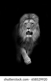 lion walks out of the dark and into the light, africa wildlife wallpaper