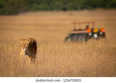 Lion walks towards camera with truck behind