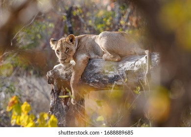 Lion is watching from the forest in National Park Kruger, South Africa.