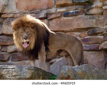 A Lion with what appears to be a bad taste in its mouth