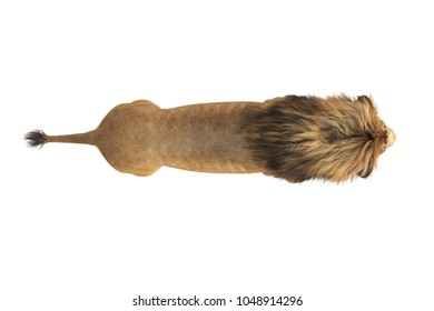 Lion wild beast with big mane, top view. 3D rendering