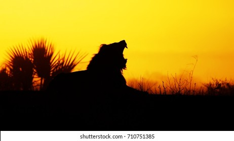 lion wild yellow orange nature sunset animals landscapes africa earth Predators Roar cray