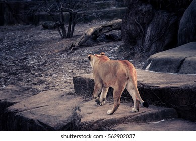 The Lion wildlife in dark sepia photo style