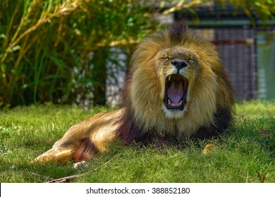 Lion yawning in Melbourne Zoo