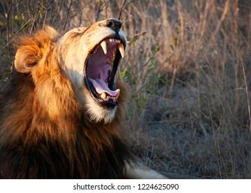 Lion yawning or roaring