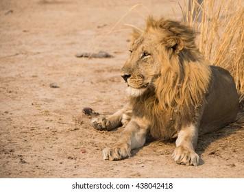Lion Zambia