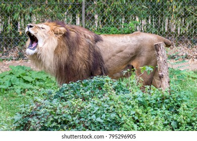 Lion at the zoo.