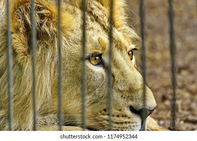Lion in a zoo cage dreams of freedom
