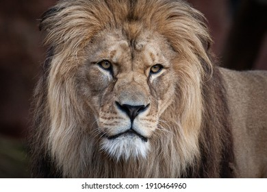 Lion in the zoo of Hanover