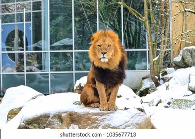 Lion at zoo in snowy weather