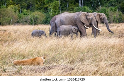 A lioneess in Kenya Africa watchees as a herd of elephants walk past in the background.