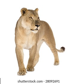 Lioness (8 years) - Panthera leo in front of a white background