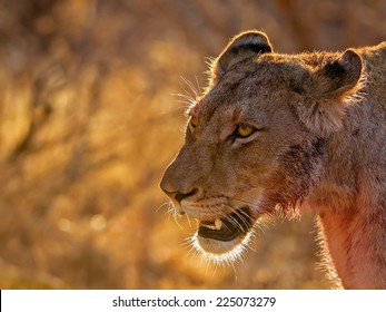 Lioness after kill