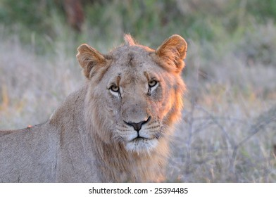 Lioness in the Afternoon Sun