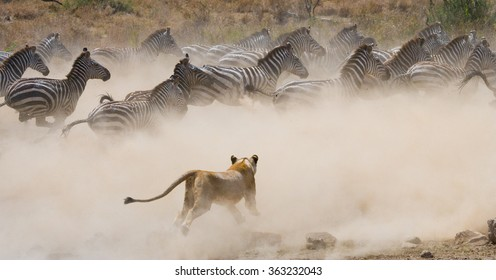 Lioness attack on a zebra. National Park. Kenya. Tanzania. Masai Mara. Serengeti. An excellent illustration.