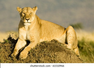 A lioness basking in the early morning sun in Kenya's Masai Mara