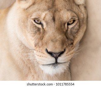 Lioness beautiful face