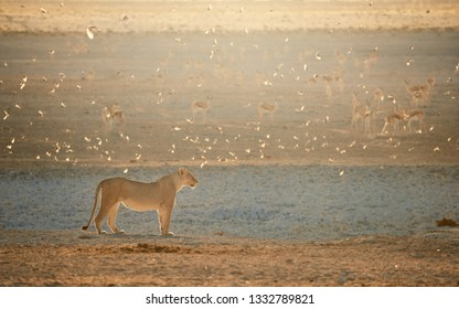 Lioness in beautiful light against herd of springboks in the background. Backlighted Lioness among flock of sociable weavers near to waterhole. Hot day on safari in Etosha. Etosha Wildlife, Namibia.