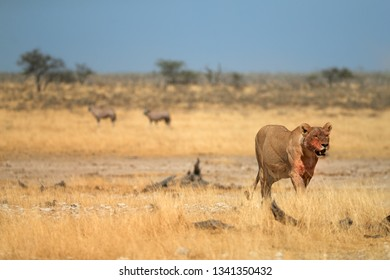Lioness, with bloody head after successful hunt coming directly at camera in dry savanna of Etosha national park. Lioness with two oryxes in background. Wildlife photography in Namibia.