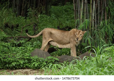 lioness- brave queen of the forest