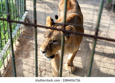 Lioness in captivity of the zoo