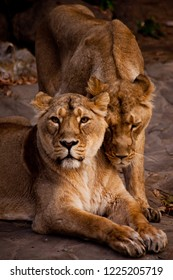 The lioness caresses to her friend.Indian (Asian) lions. lionesses show emotions and social life.