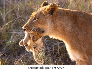 Lioness carrying cub in her mouth