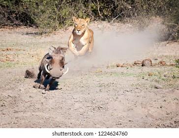 Lioness chasing a Warthog, warthog escapes