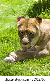 Lioness cleaning herself