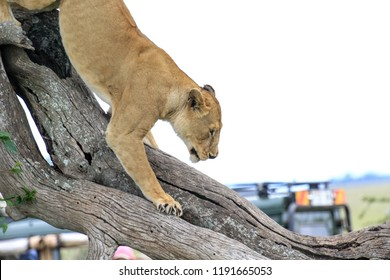 Lioness climbing the tree