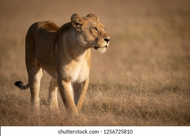 Lioness crosses grass with catchlight in eye