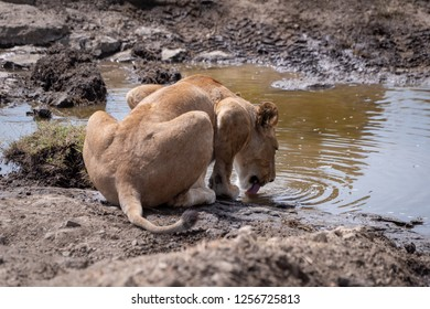 Lioness crouches to drink from rocky stream