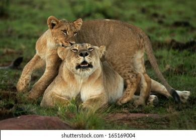 Lioness and cub roaring