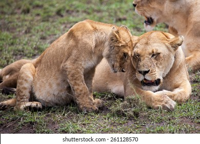 Lioness and cub rubbing heads in Serengeti, Tanzania, East Africa