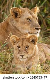 Lioness & cub in the Serengeti National Park, Tanzania