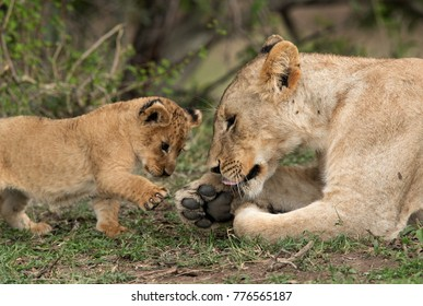 Lioness cub trying to touch her feet, Masai Mara