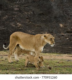 A lioness and cubs along the base of a large rock in Masai Mara, Kenya