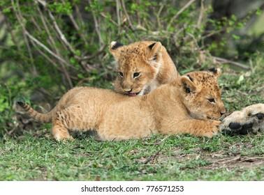 Lioness cubs, Masai Mara