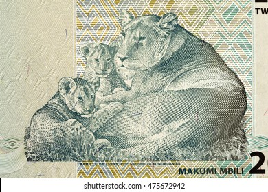 lioness with cubs on the Africa bill